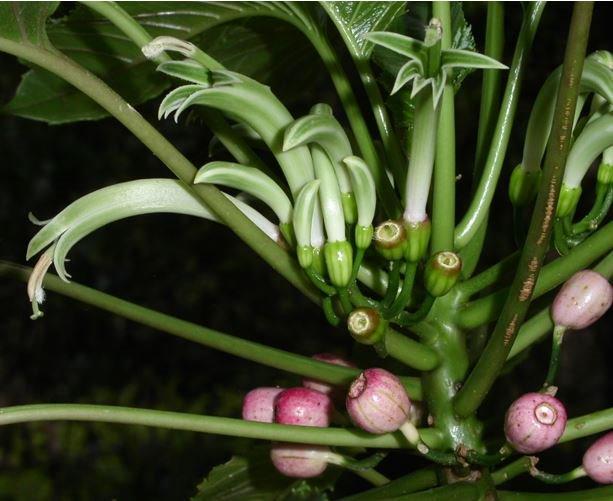 Delissea waianaeensis